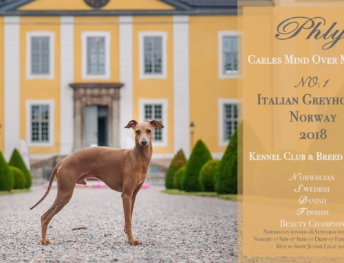 Most winning Italian Greyhound in Norway 2018